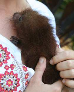 Costa Rica Animal Hospital - Baby Porcupine