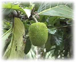 Breadfruit - a favorite fruit of many animals