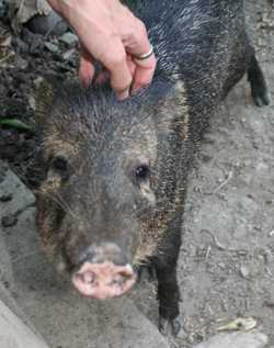 Costa Rican native wild pig - a peccary