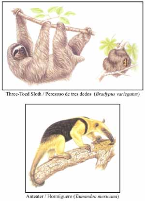Three-Toed Sloth, compared with Anteater